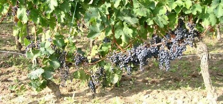 raisins-avant-recolte