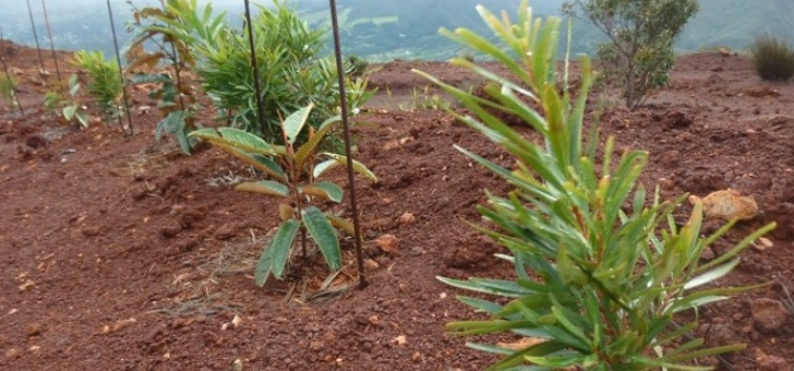 grevillea-exul-pleine-croissance-sur-un-site-minier-de-nouvelle-caledonie
