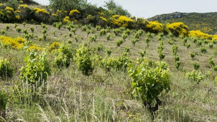 domaine-grand-guilhem-des-vignes-cultivees-altitude-pour-reveler-des-vins-fins-et-savoureux