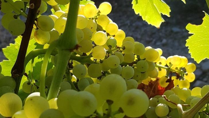 raisins-refletent-deja-toutes-promesses-gustatives-a-venir