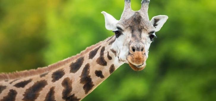 girafe-voyage-a-saint-omer-un-nom-inspire-par-un-animal-voit-toujours-plus-loin
