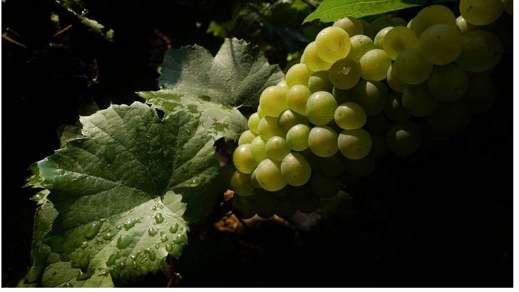 champagne-chardonnay-principalement-present-dans-cote-des-blancs