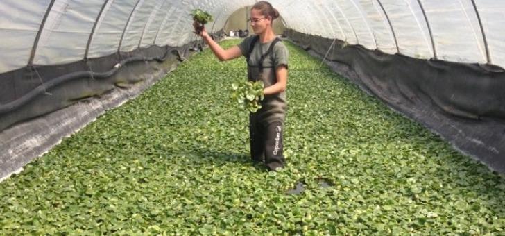 des-plantes-aquatiques-aux-proprietes-depolluantes-exceptionnelles-production-nymphea