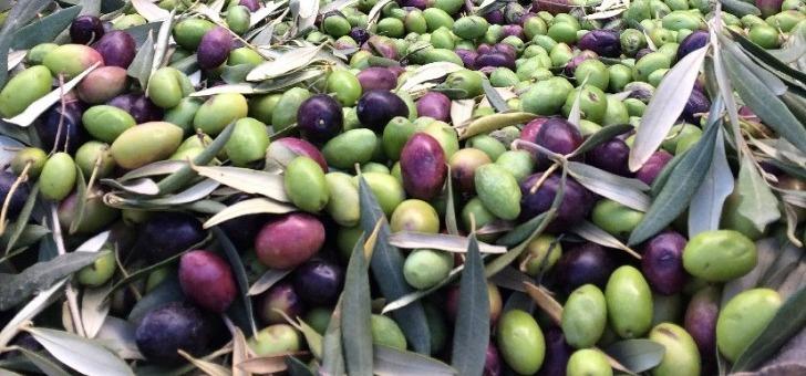 grande-diversite-varietale-d-olives