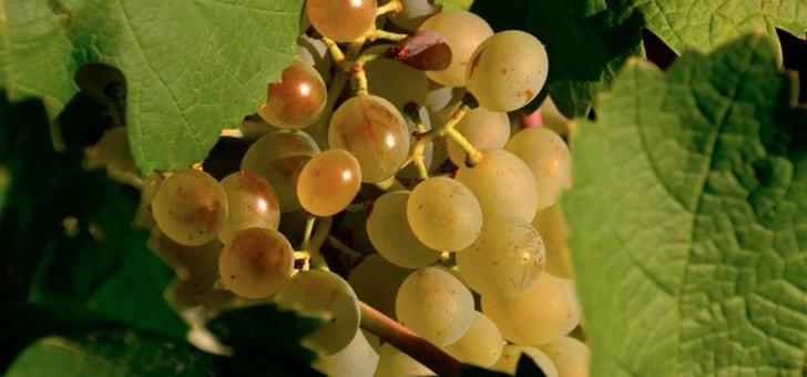raisins-pleine-maturation