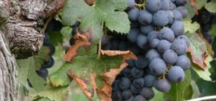 vigne-prete-pour-vendange