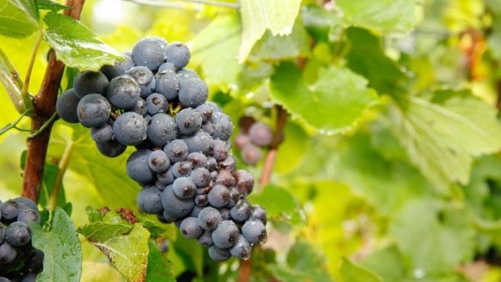 champagne-guy-lamoureux-a-riceys-cultiver-des-vignes-sains-et-expressifs