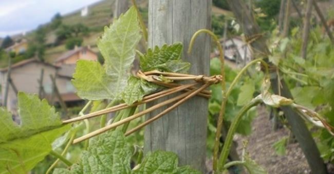 vignobles-levet-a-ampuis