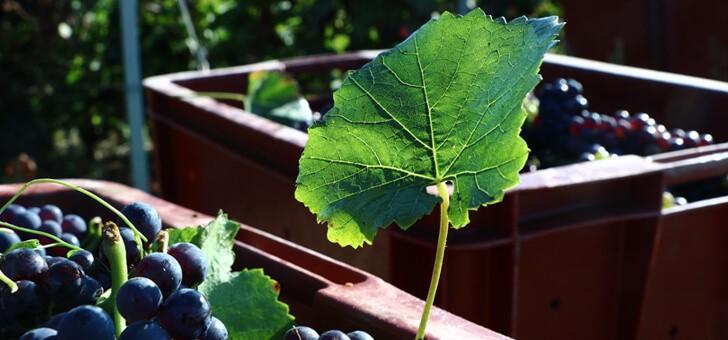 raisins-apres-recolte