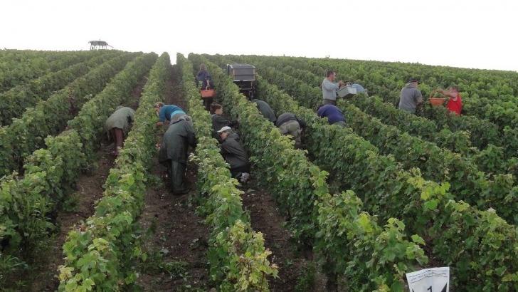 champagne-sendron-destouches-vigne-sols-et-vendanges