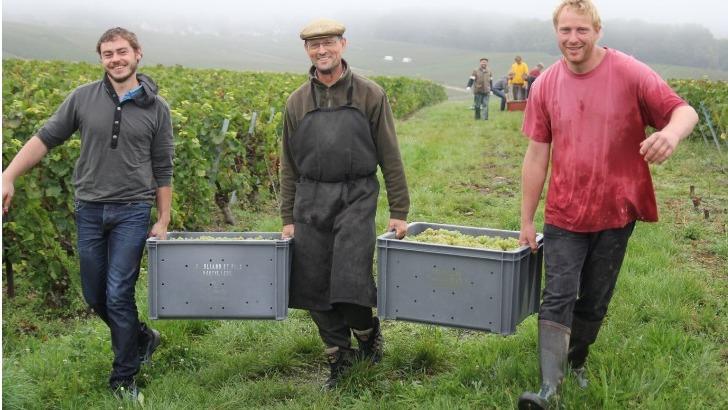 champagne-vincent-bliard-raisins-sont-recoltes-manuellement-quand-atteignent-maturite-optimale
