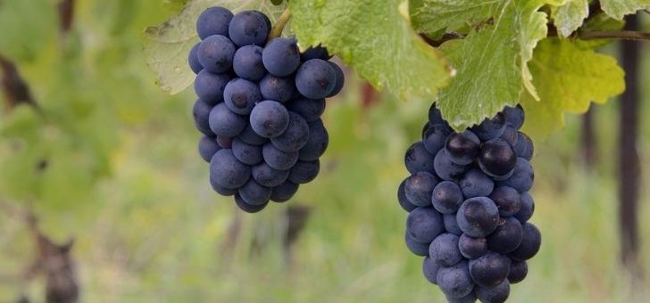 raisins-a-maturite