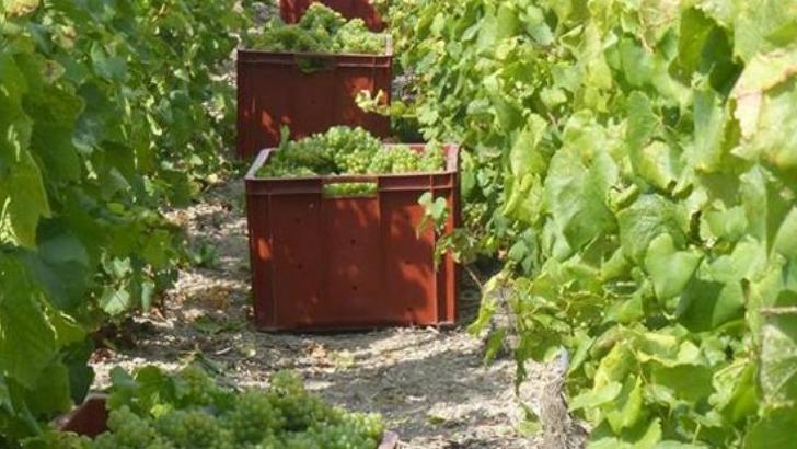 vendanges-manuelles-realisees-dans-vignes