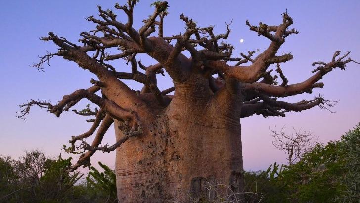 baobab-geant