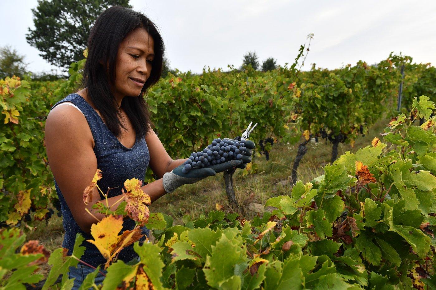 chateau-pre-lande-des-vendanges-manuelles-pour-prendre-soin-des-raisins