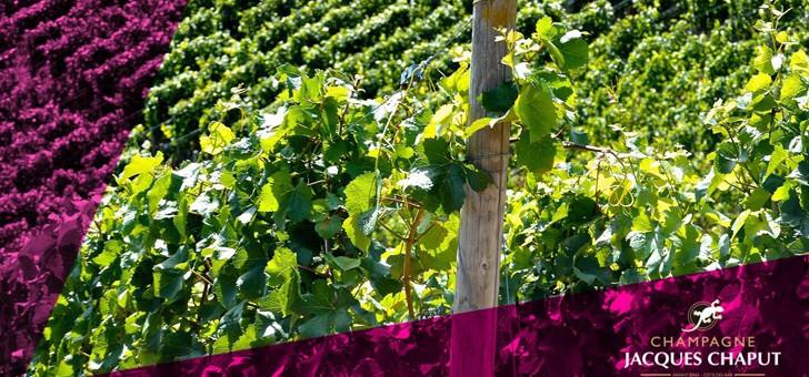des-vignes-traitees-dans-respect-viticulture
