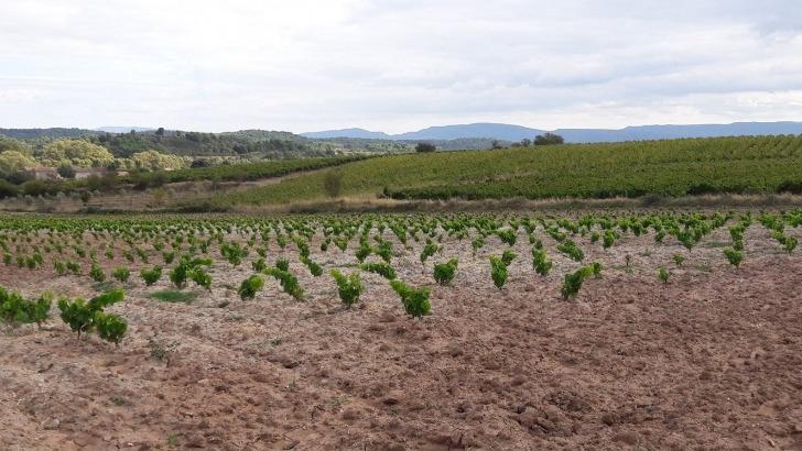 domaine-maillols-10-hectares-sur-13-est-plante-minervois