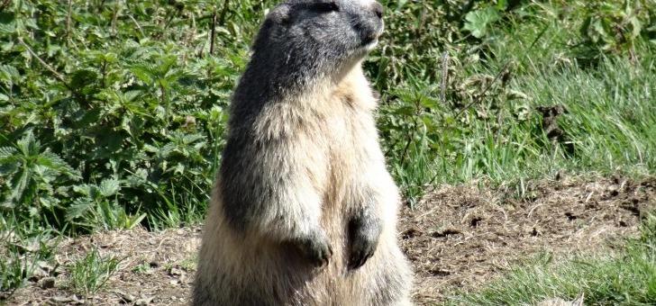 marmotte-dans-pyrenees