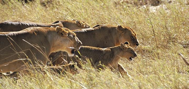 admirer-lionnes
