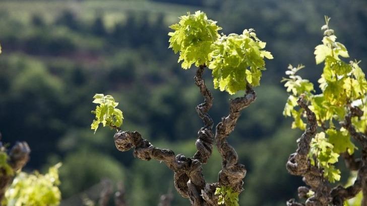 domaine-pique-basse-mise-sur-cote-gourmand-du-grenache-pour-produire-des-vins-d-exception