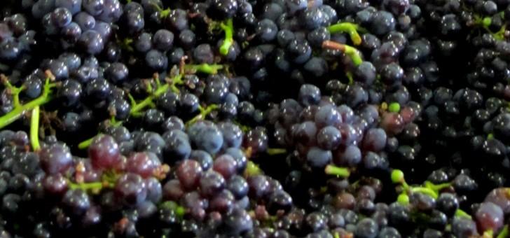 champagne-nomine-renard-a-villevenard-lors-des-vendanges-fruit-est-selectionne-cueilli-avec-precaution-pour-qu-donne-meilleur-de-meme