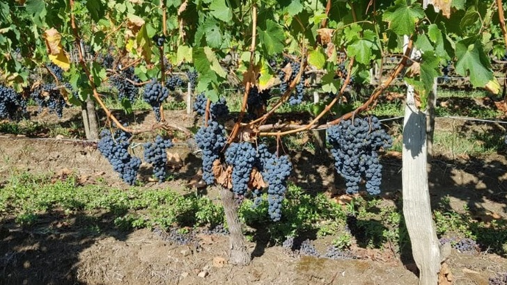 chateau-croix-saint-andre-des-raisins-expriment-pleine-potentialite