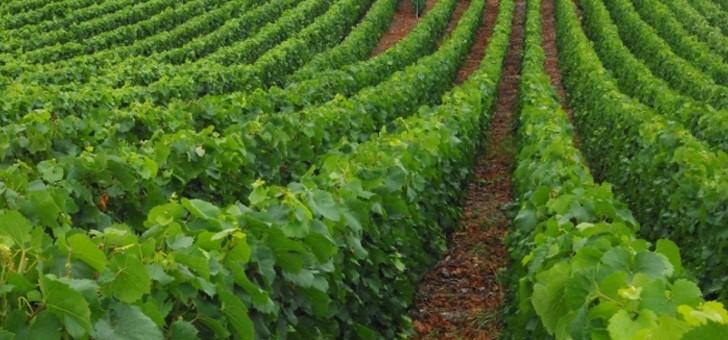 champagne-nomine-renard-a-villevenard-vignes