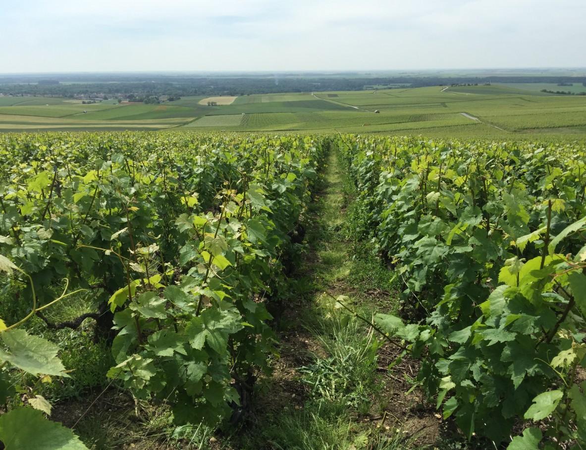champagne-guy-charbaut-vignoble-enherbe