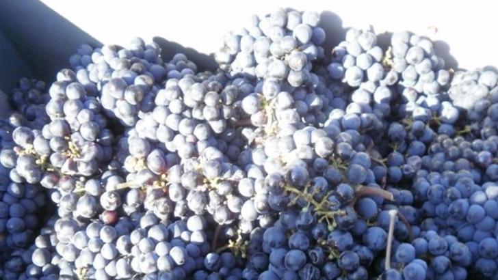 raisins-tout-juste-recoltes