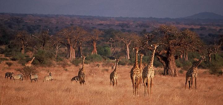 girafes-ponctuent-vos-safaris