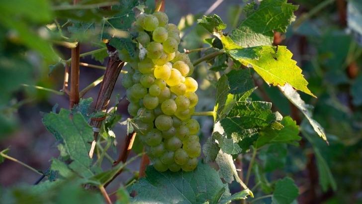 grappe-de-chardonnay