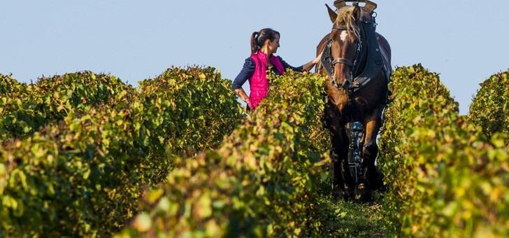 vignes-travaillees-au-cheval