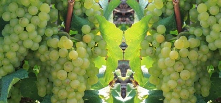 de-belles-grappes-de-chardonnay