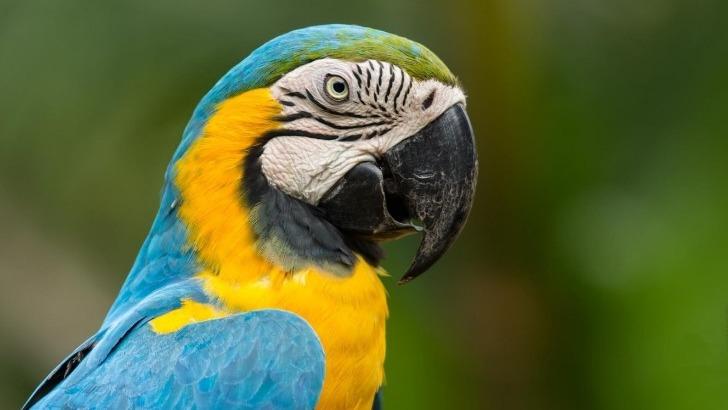 parmi-especes-endemiques-du-bresil-perroquet-arara