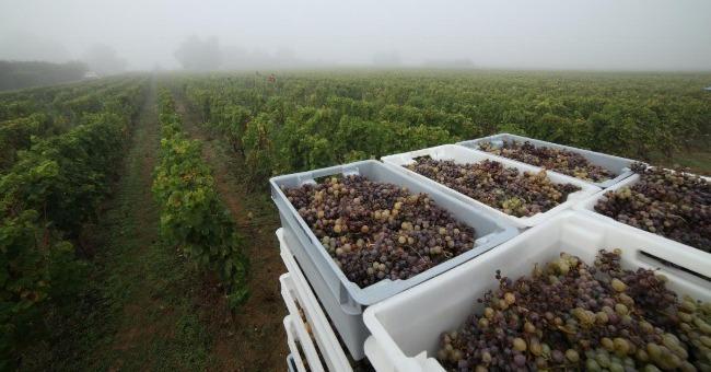 chateau-grillon-vin-capricieux-d-origine-barsac