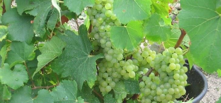 chardonnay-cultive-au-domaine