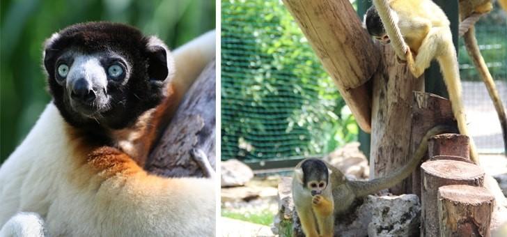des-especes-de-lemurien-abritees-par-museum