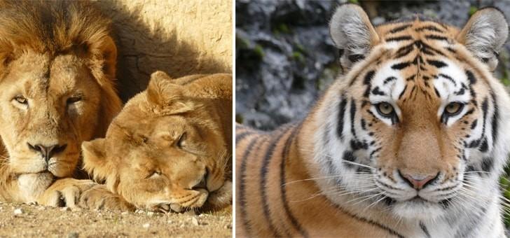 lions-et-tigres