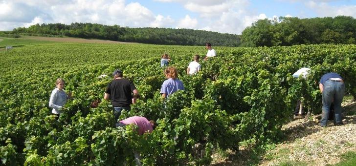 vignes-et-vendanges-a-main-des-champagnes-rollin