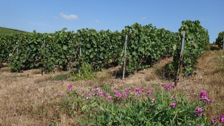 coteau-ouest-de-exploitation-didier-raimond-a-epernay-est-ideal-pour-culture-des-trois-cepages-champenois