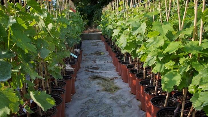 domaine-de-lartigue-pepiniere-viticole