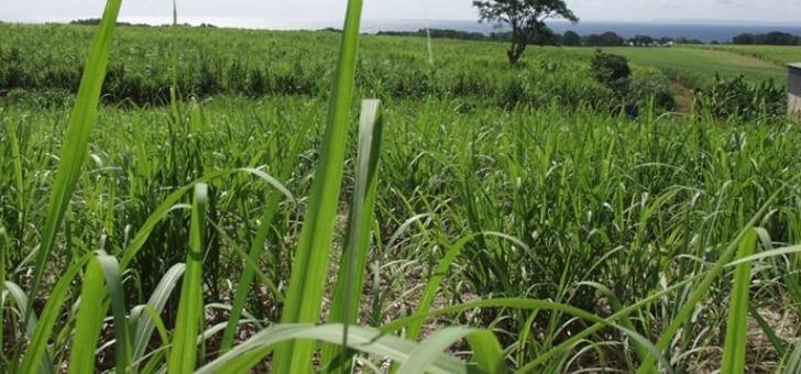 champs-de-canne-a-sucre