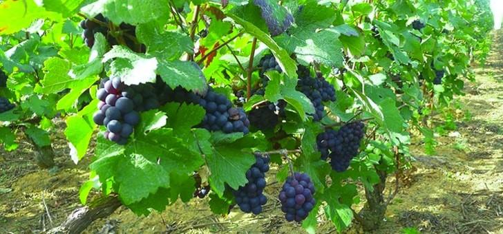 un-bon-raisin-fait-un-bon-vin