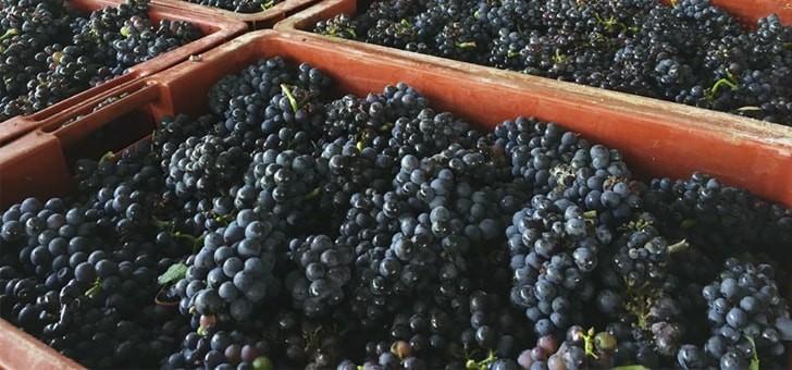 raisins-prets-a-passer-au-pressurage
