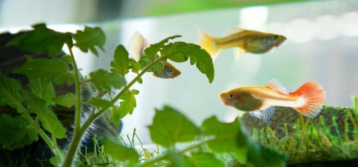 aura-utilise-l-aquaponie-une-technique-bimillenaire-alliant-l-aquaculture-elevage-de-poissons-ou-autres-organismes-aquatiques-et-l-hydroponie-culture-des-plantes-par-de-l-eau-enrichie-en-matieres-minerales