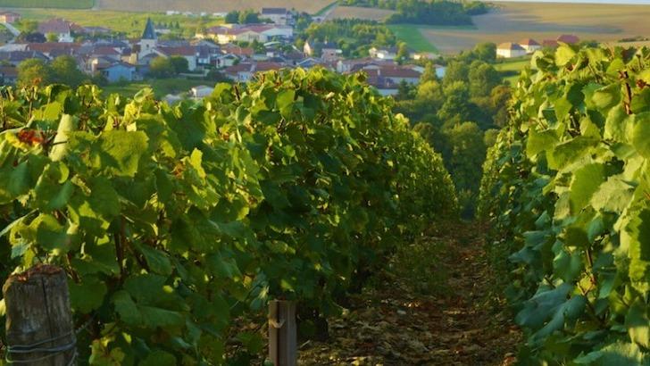 champagne-charles-clement-a-colombe-sec-un-vignoble-essentiellement-dedie-au-cepage-pinot-noir