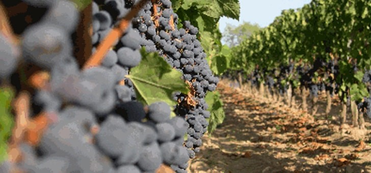 raisins-genereux-saveurs-et-aromes