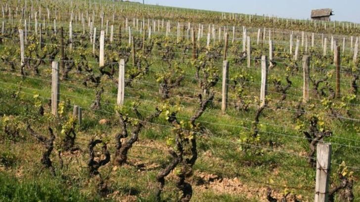 chateau-de-pravins-de-tres-vieilles-vignes-de-cepage-gamay-et-chardonnay-assurent-des-vins-plus-structures-complexes-et-aromatiques