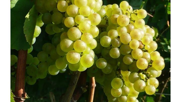 champagne-andre-brochot-raisin-blanc-cepage-chardonnay