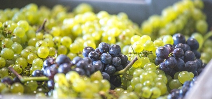 raisins-recoltes-pour-pressurage